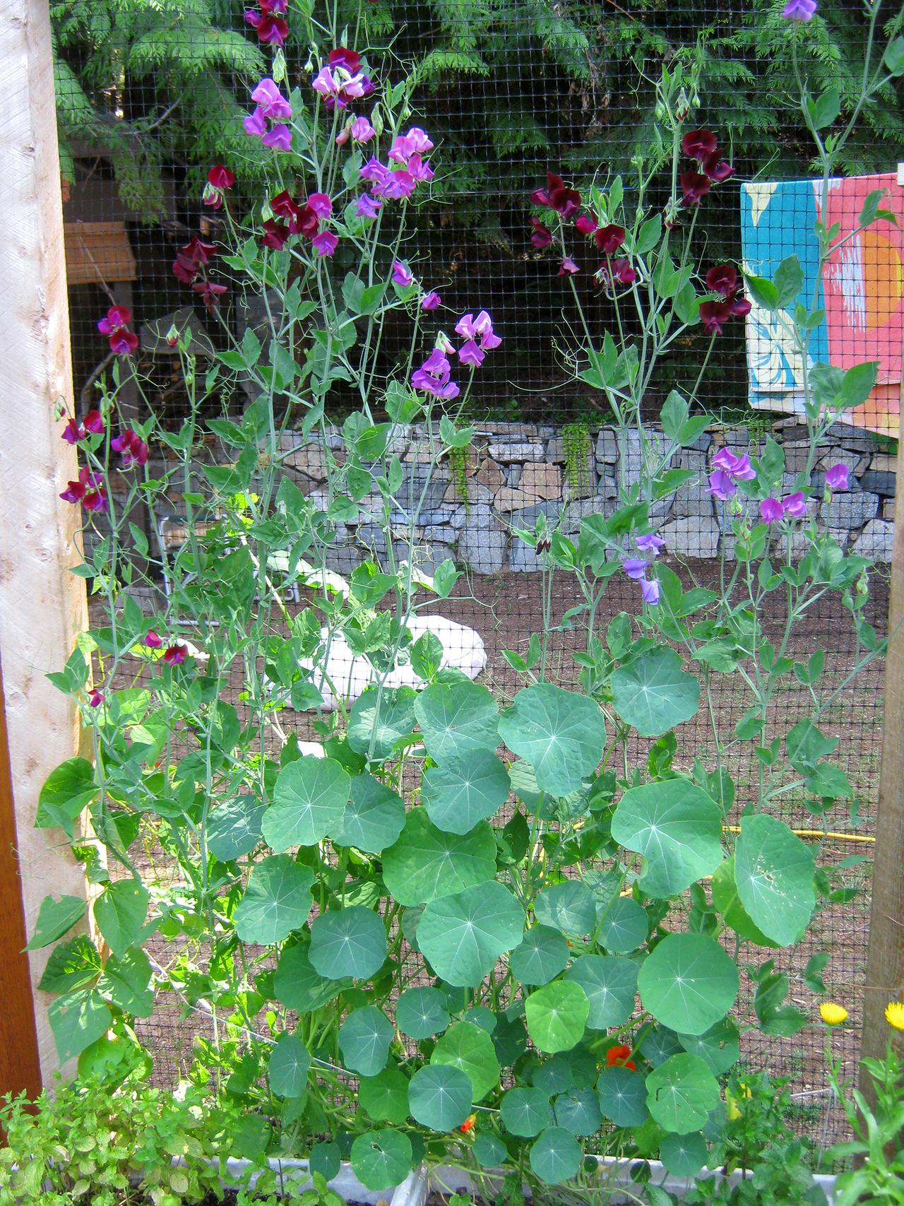 sweet peas nasturtiums permaculture garden